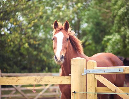Chestnut Horse with Blaze