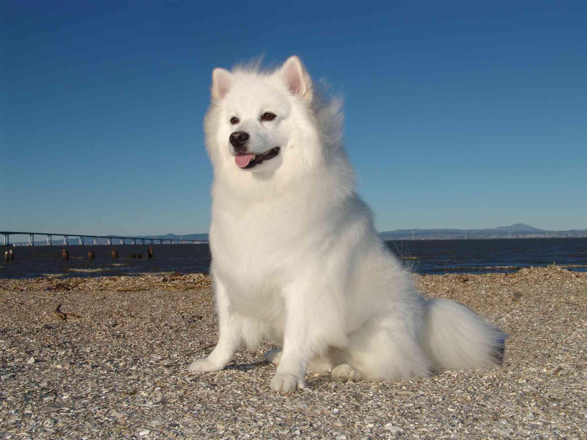American Eskimo dog portrait