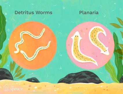 detrius worms vs planaria