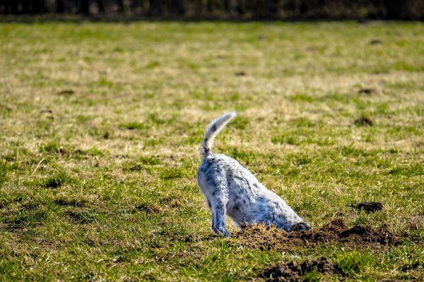 Dog Digging On Grassy Field