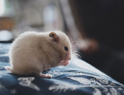 hamster sitting on a cloth nibbling food