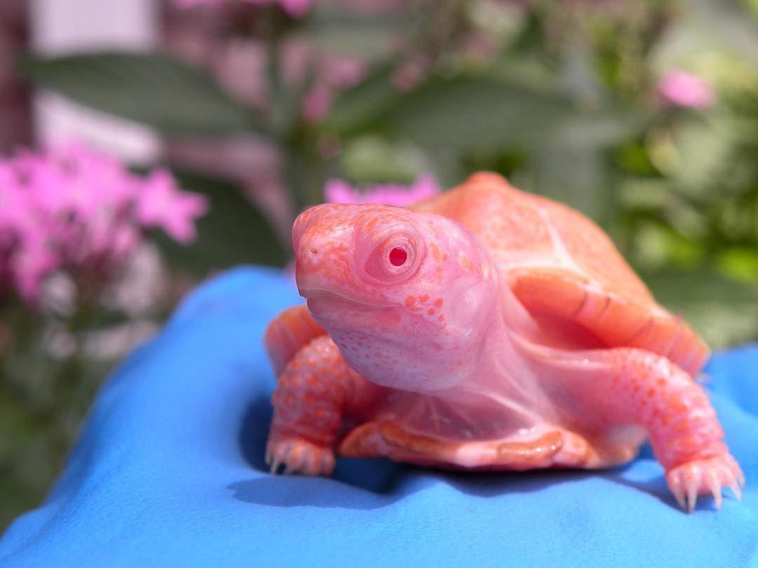 An albino sea turtle.