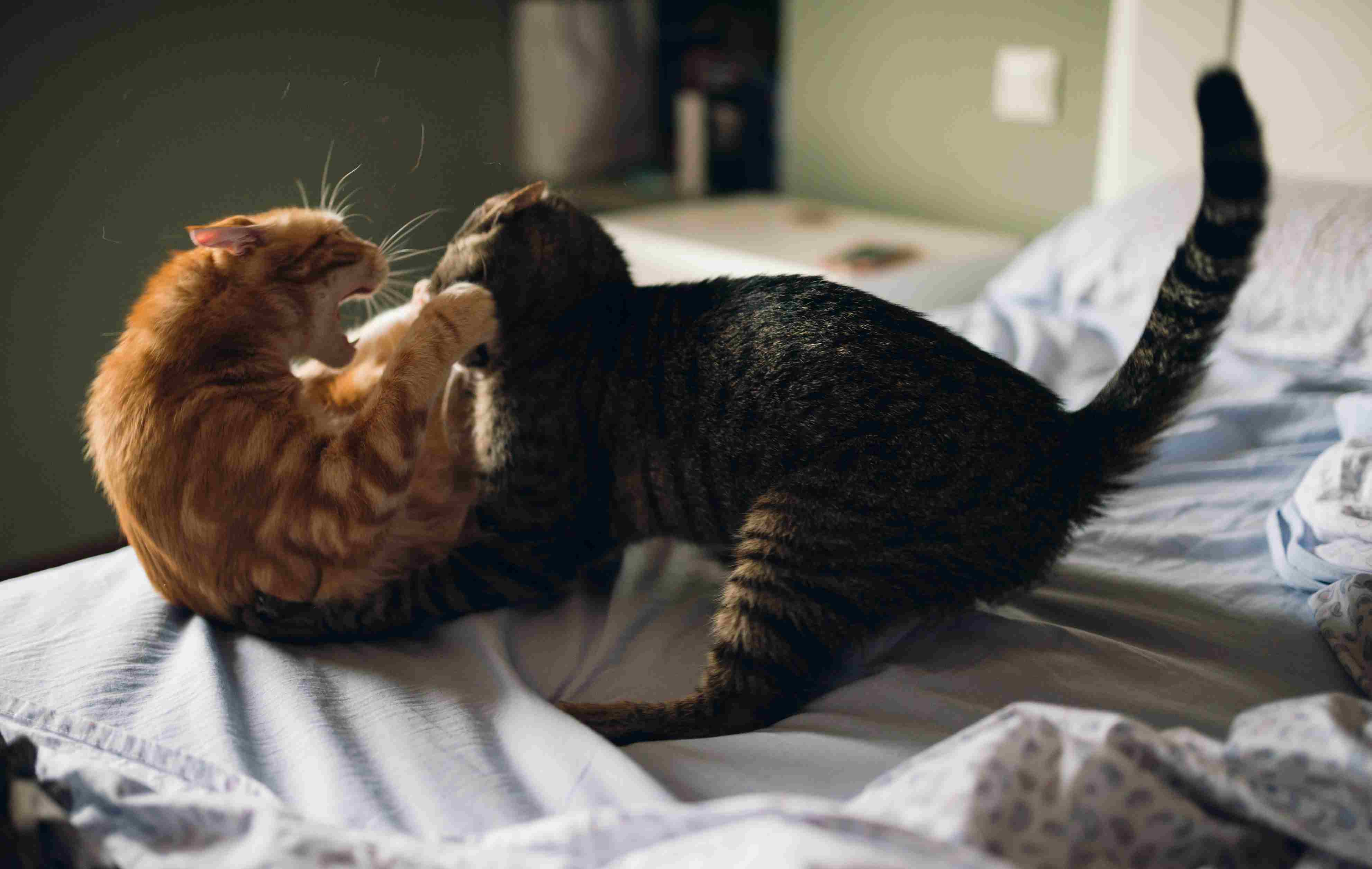 Two cats playing har on a bed