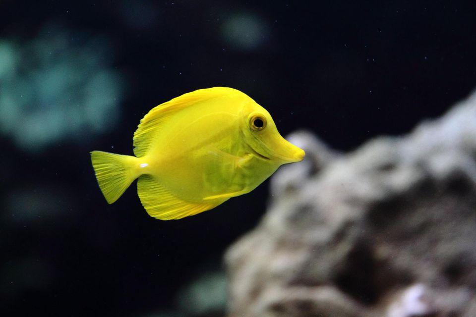 Pez tropical de espiga amarilla con fondo coral