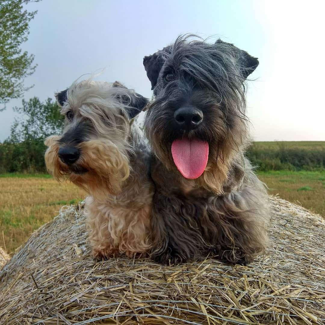 Cesky terriers on hay bale