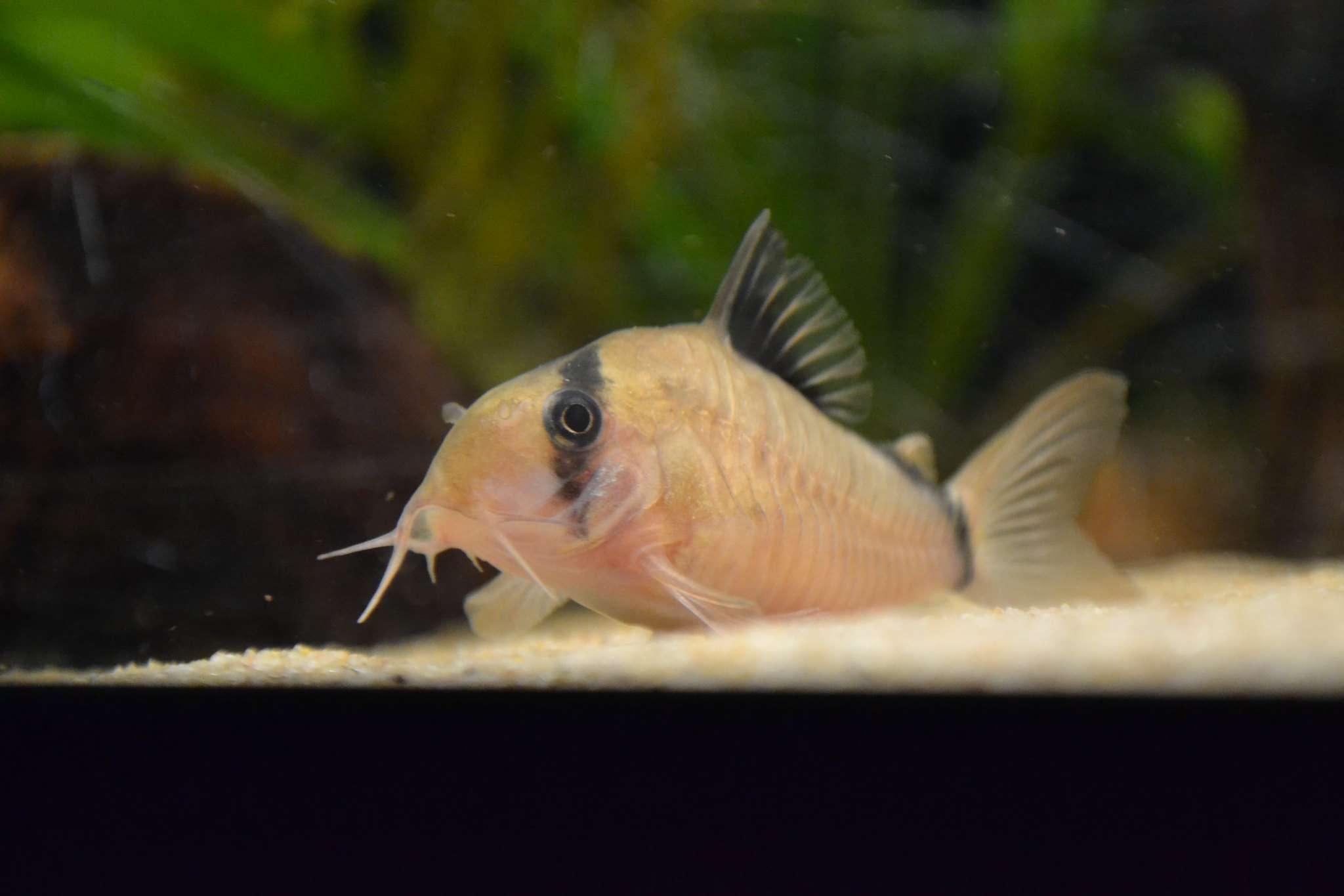 Bandit corydora resting on aquarium substrate