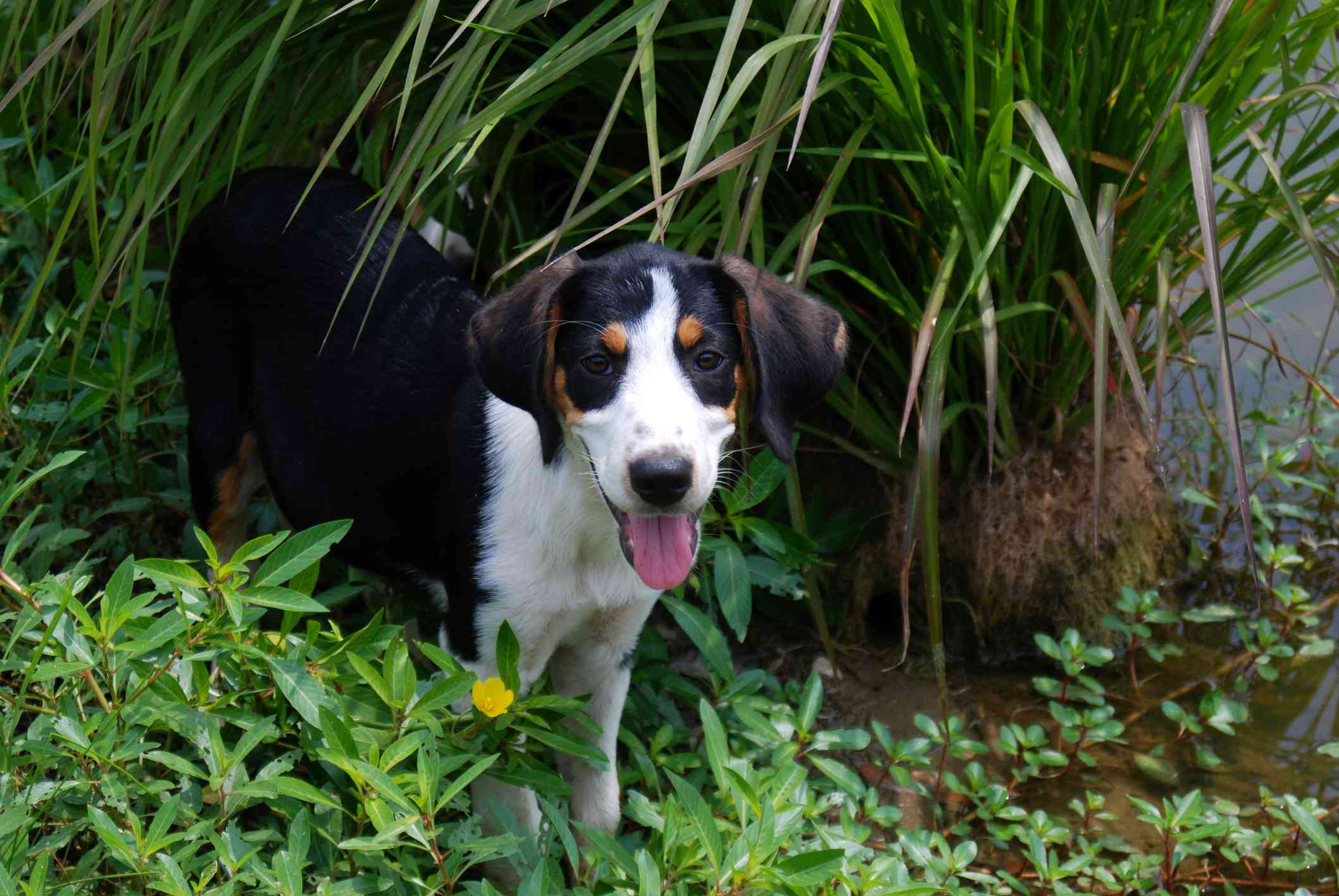 A young Treeing Walker Coonhound in water