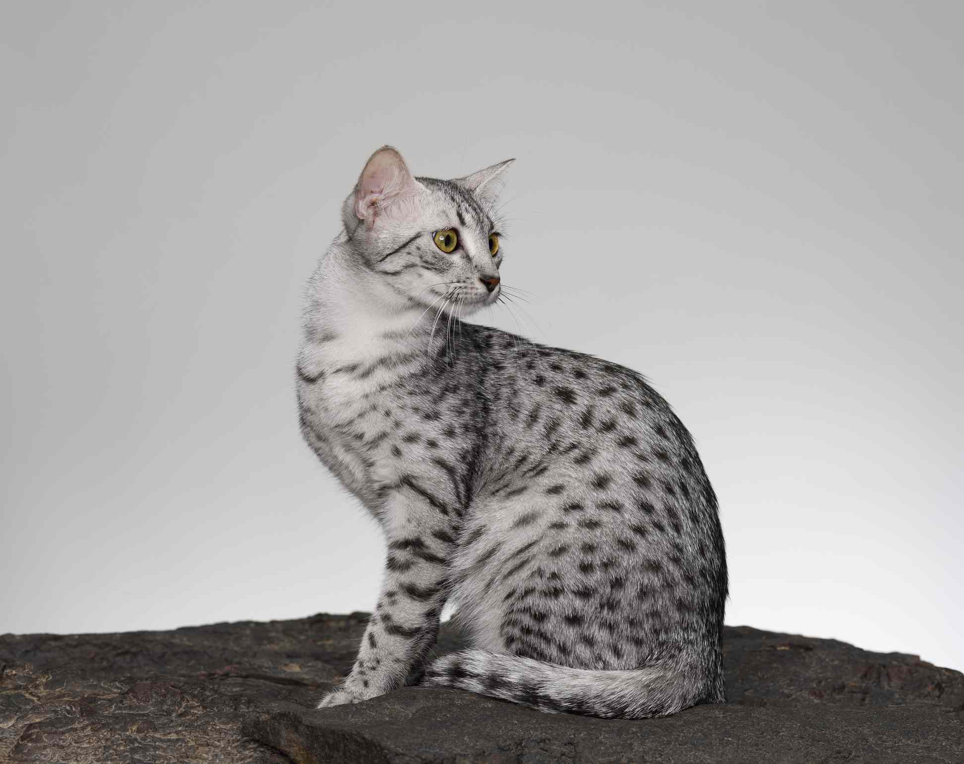 A spotted Egyptian Mau cat sitting up but looking behind him.