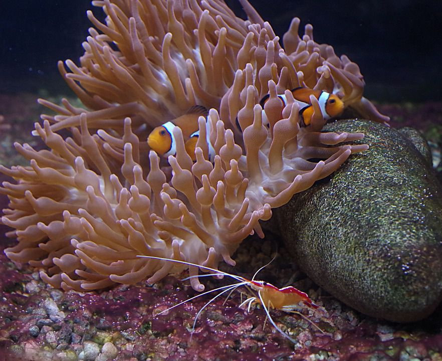 Clownfish, Cleaner Shrimp ,Anemone - Symbiosis