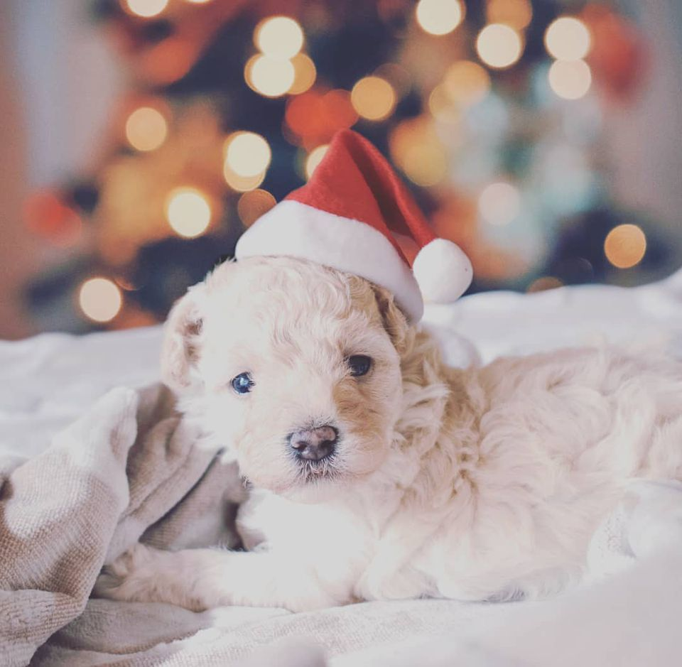 A puppy wearing a tiny Santa hat.