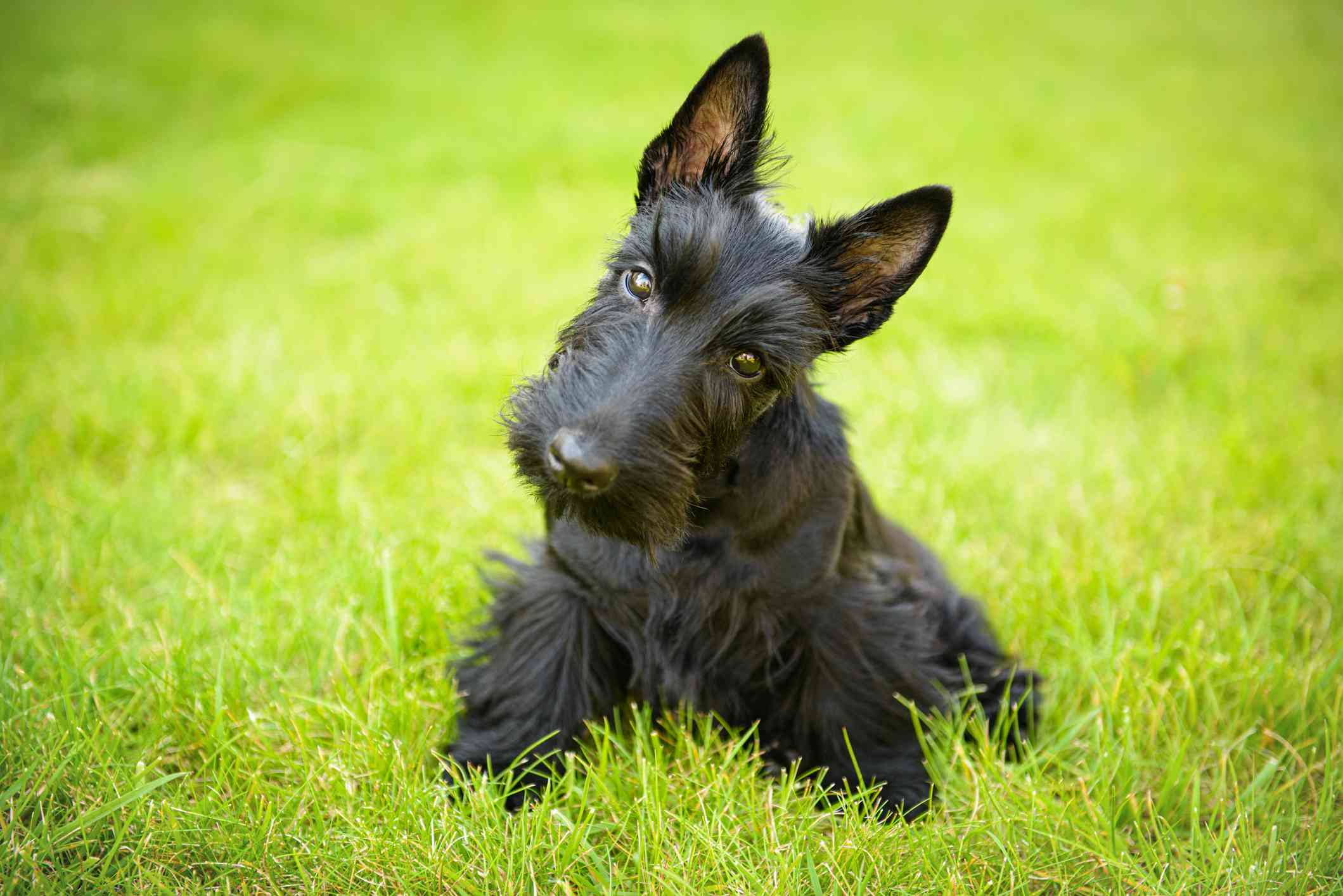 Scottish Terrier in the grass with head tilted looking at camera.
