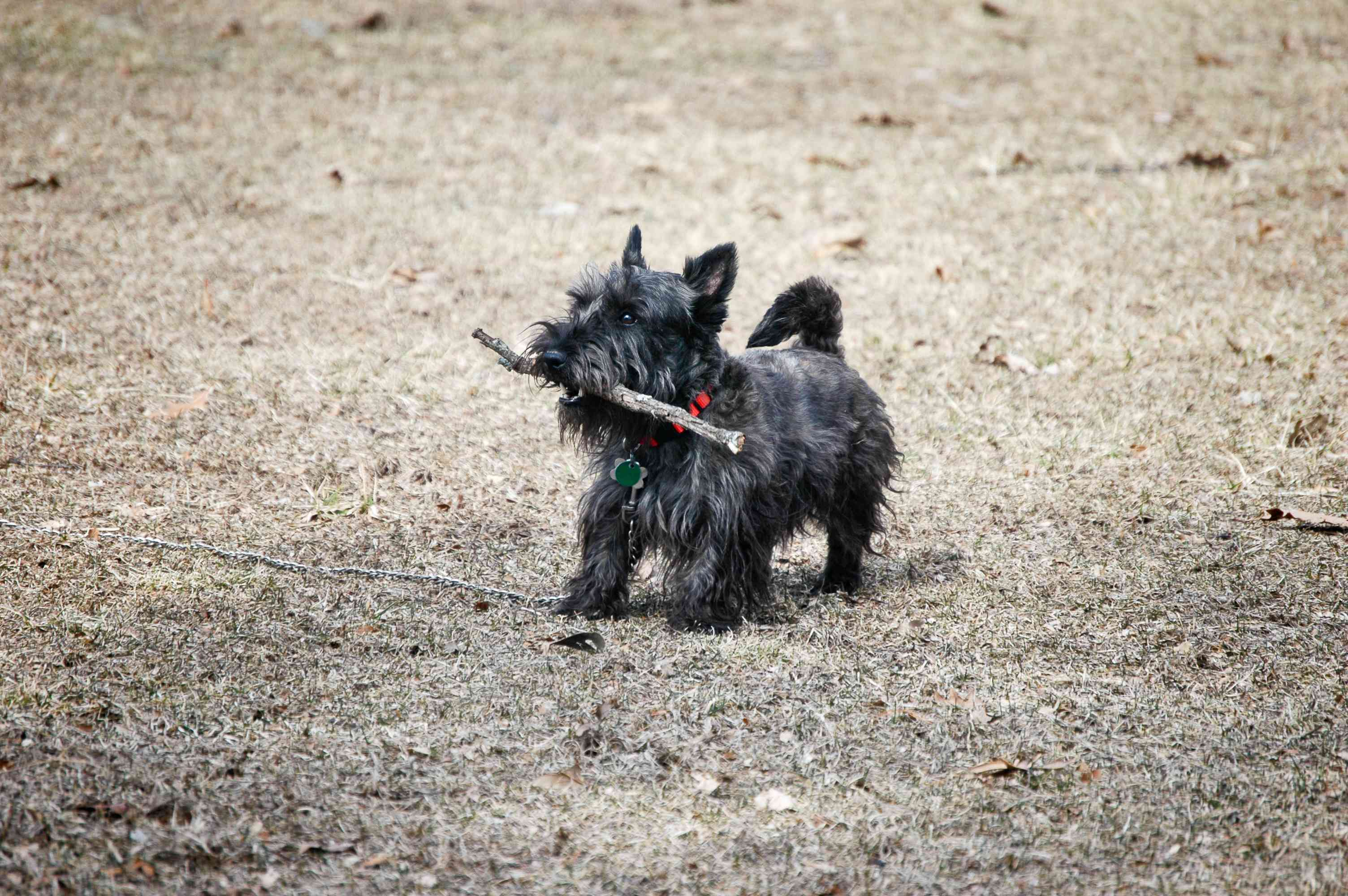 A black Scottie dog with pointy ears carrying a stick in his mouth.