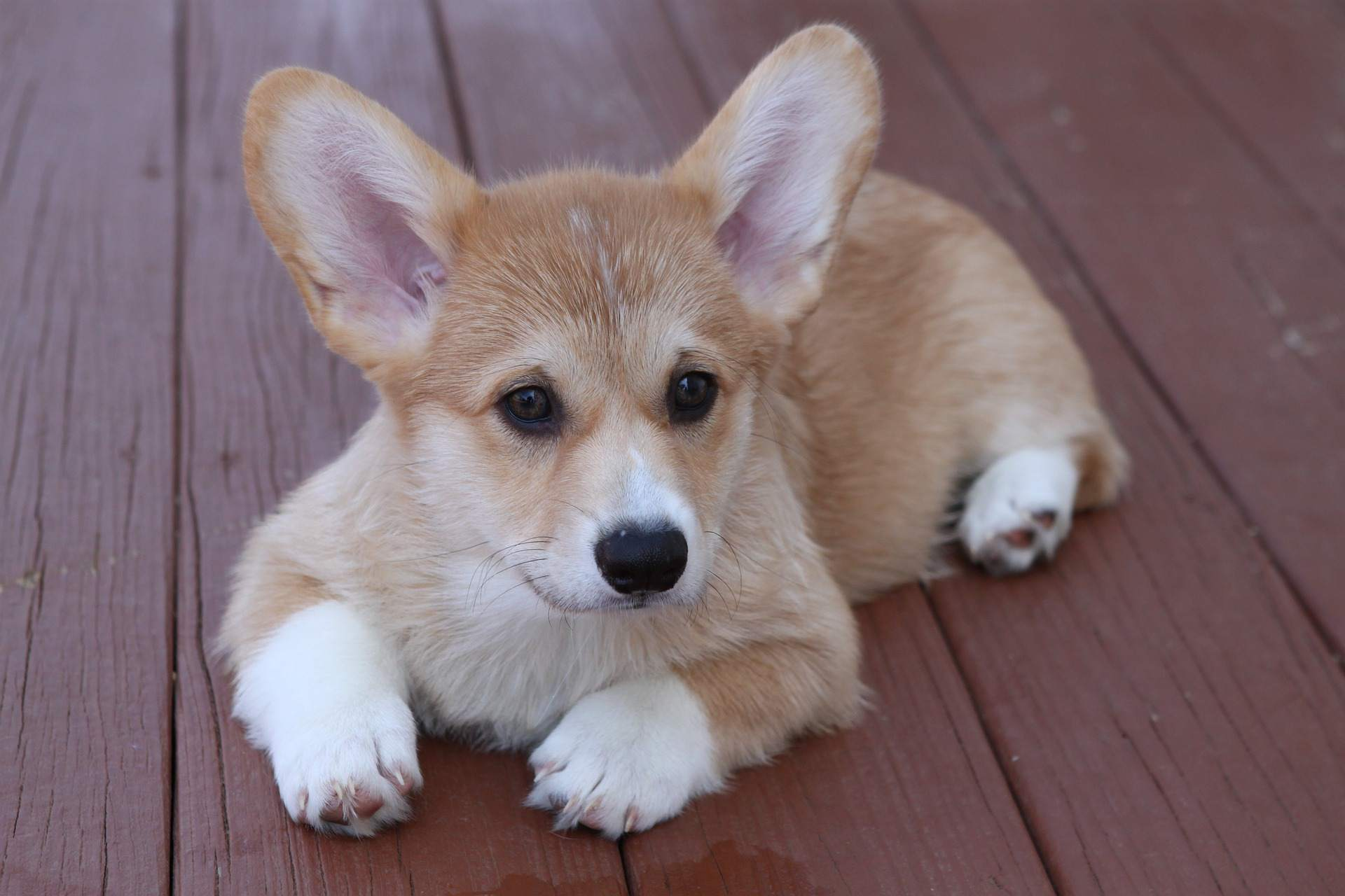 A Corgi puppy looking off into the distance.