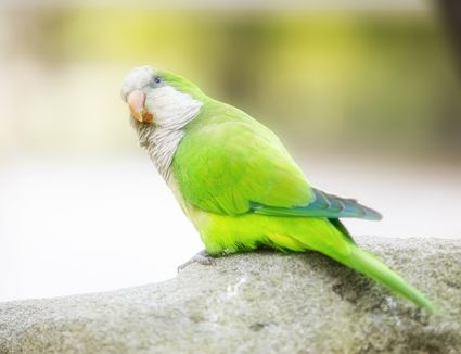 Monk Parakeet in Barcelona