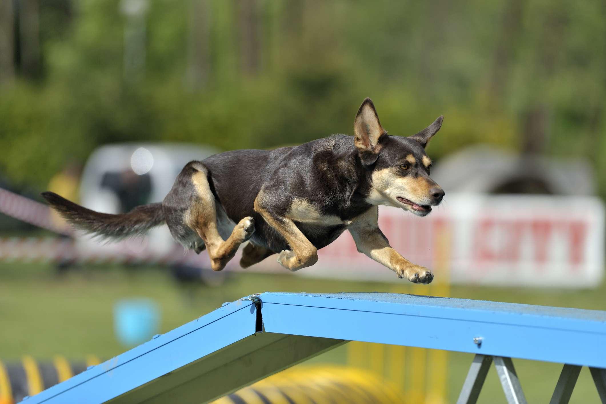 Australian Kelpie agility dog walk