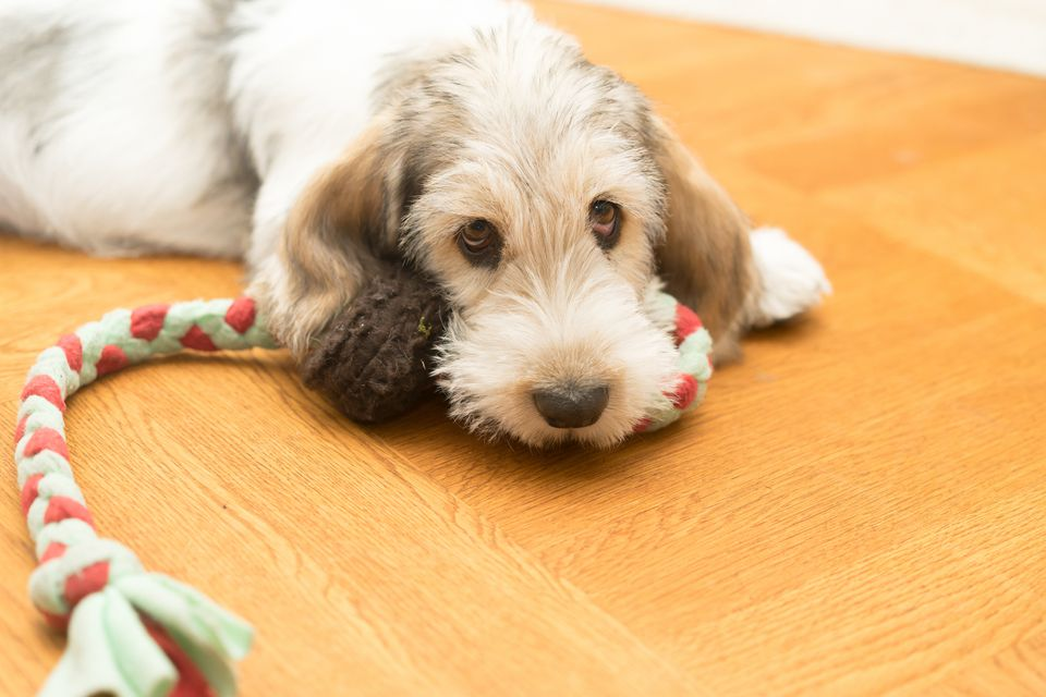 A Grand Basset Griffon Vendéen with a toy.