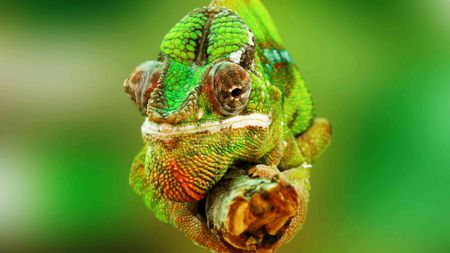 A Guide to Caring for Pet Chameleons