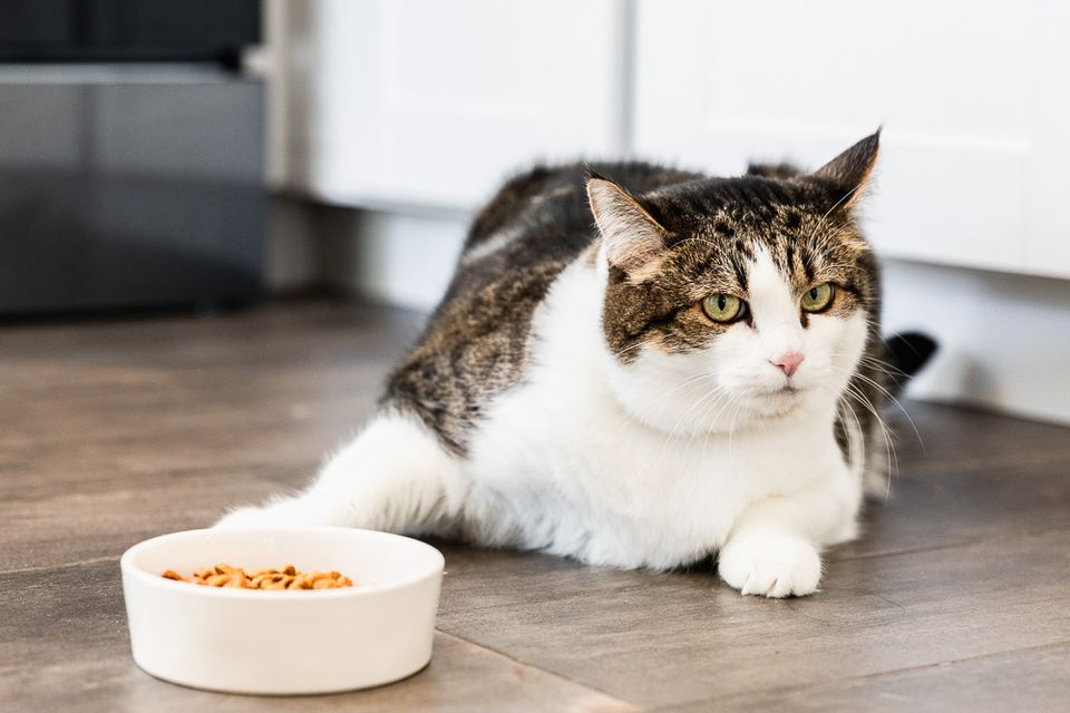 cat by its food bowl