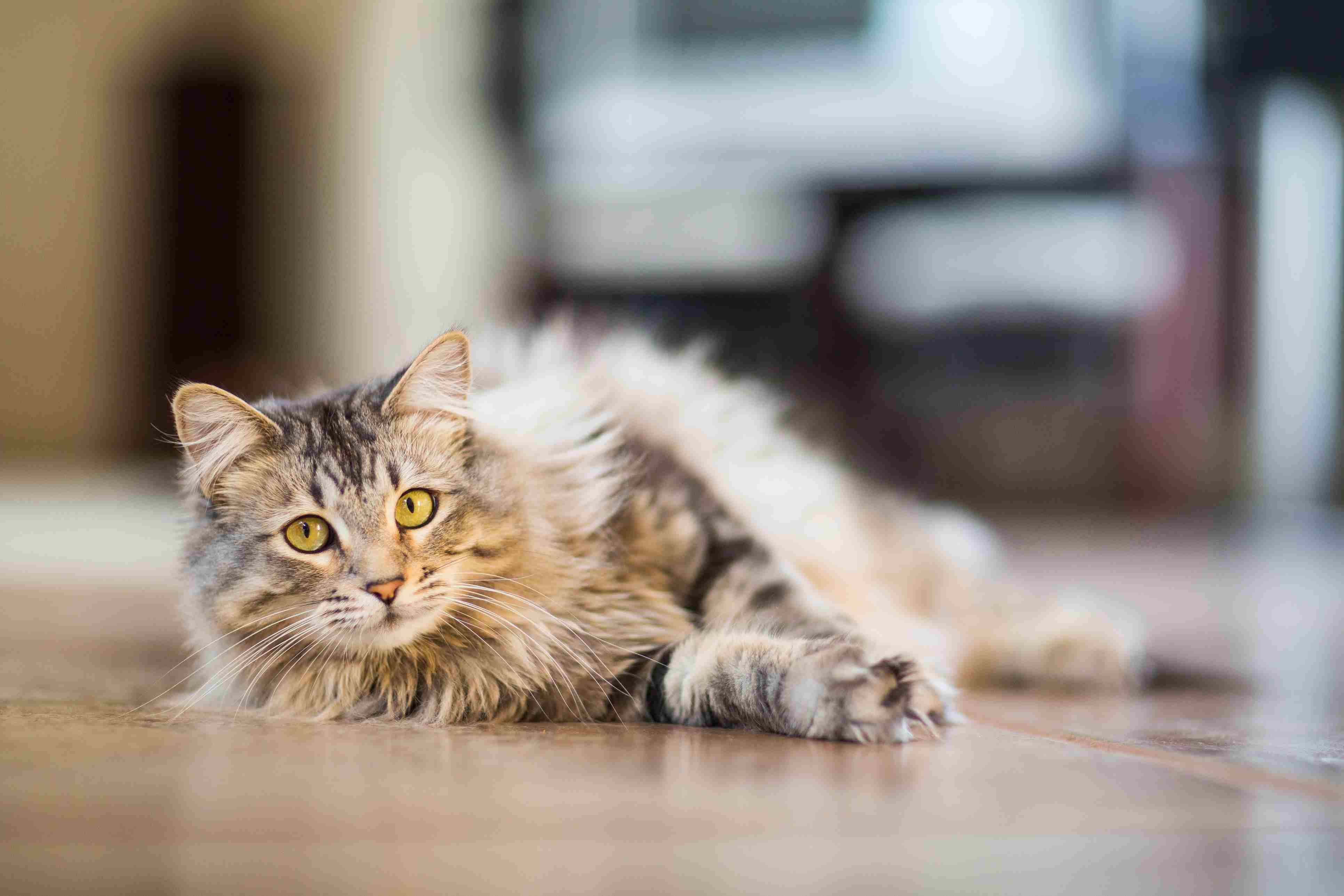Gato Maine Coon relajante en el interior