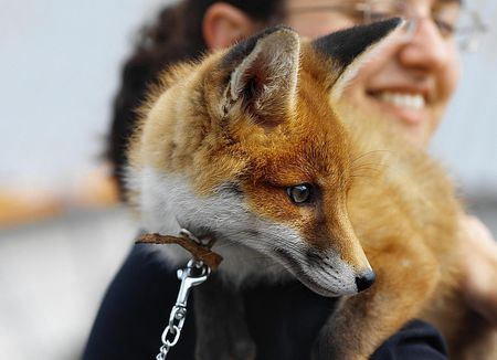 Different Breeds of Domestic Pet Foxes
