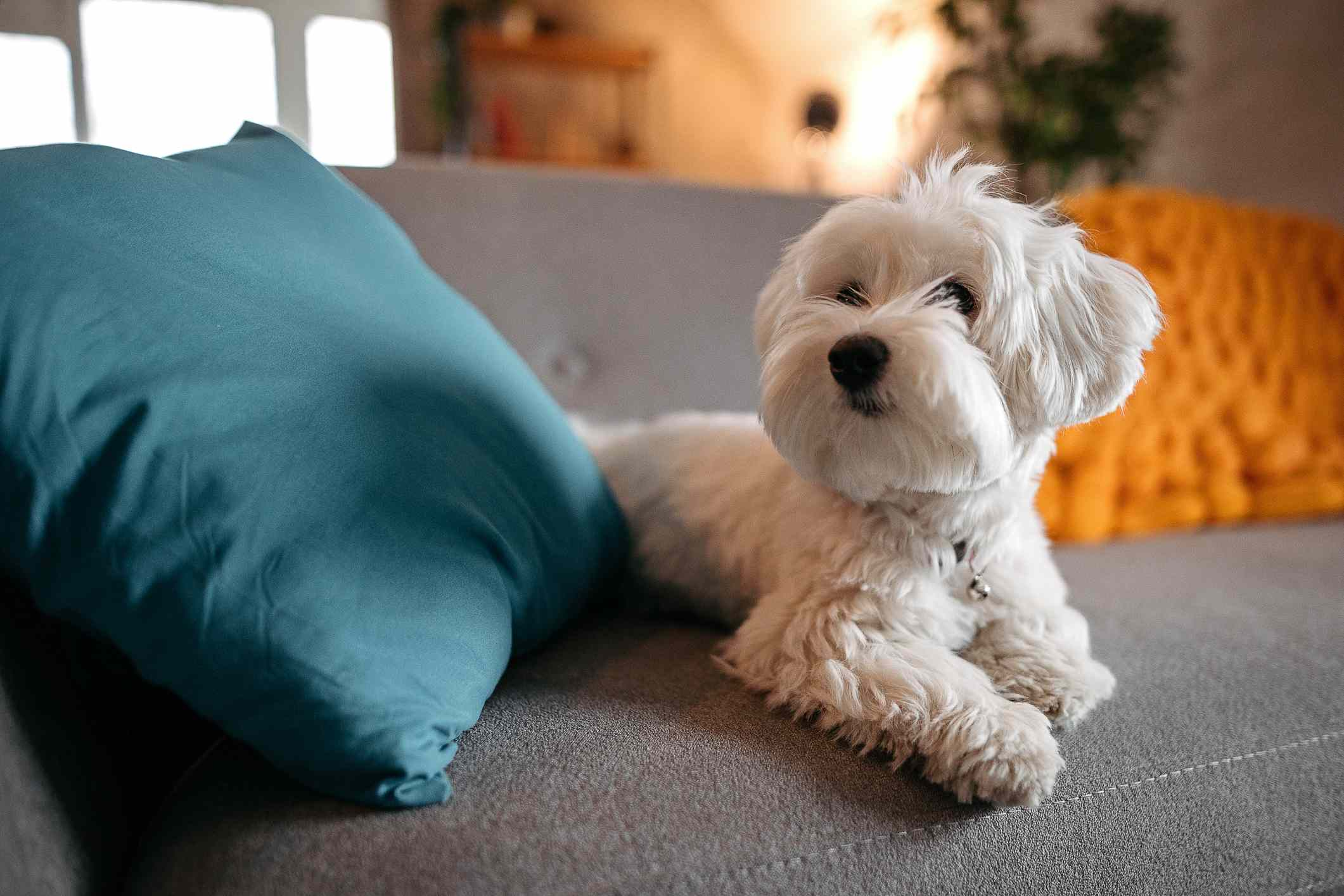 A white, fluffy, small dog laying on the couch next to throw pillows.