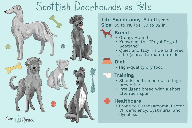 scottish deerhounds as pets illustration