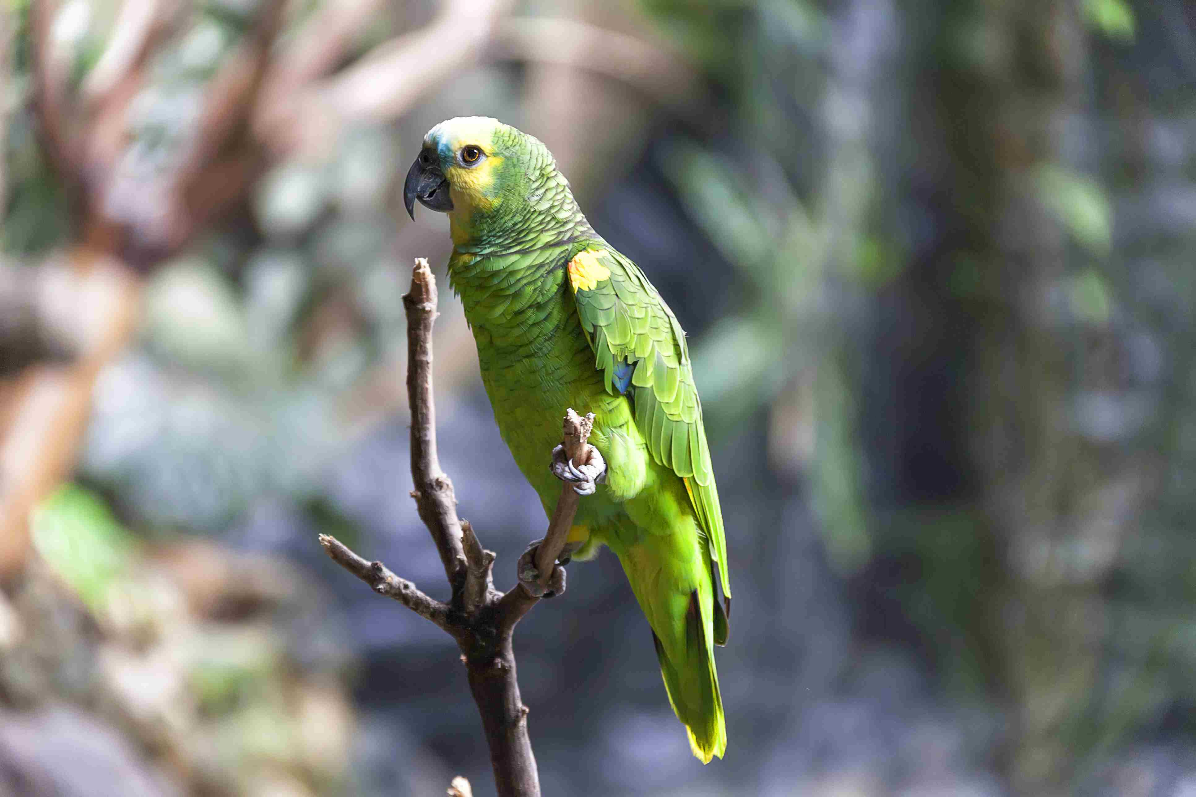 Amazon parrot on a branch