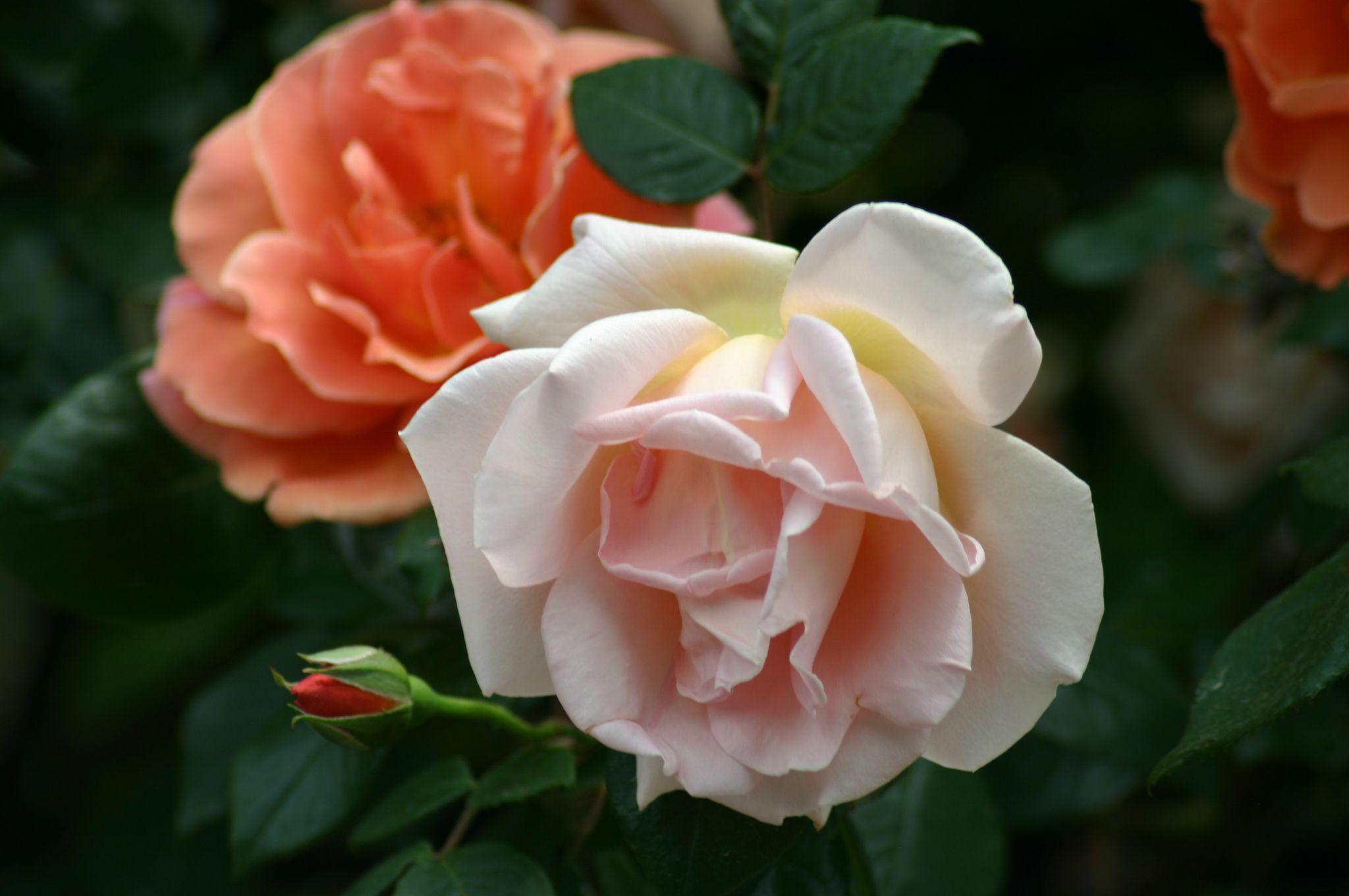 royal sunset roses