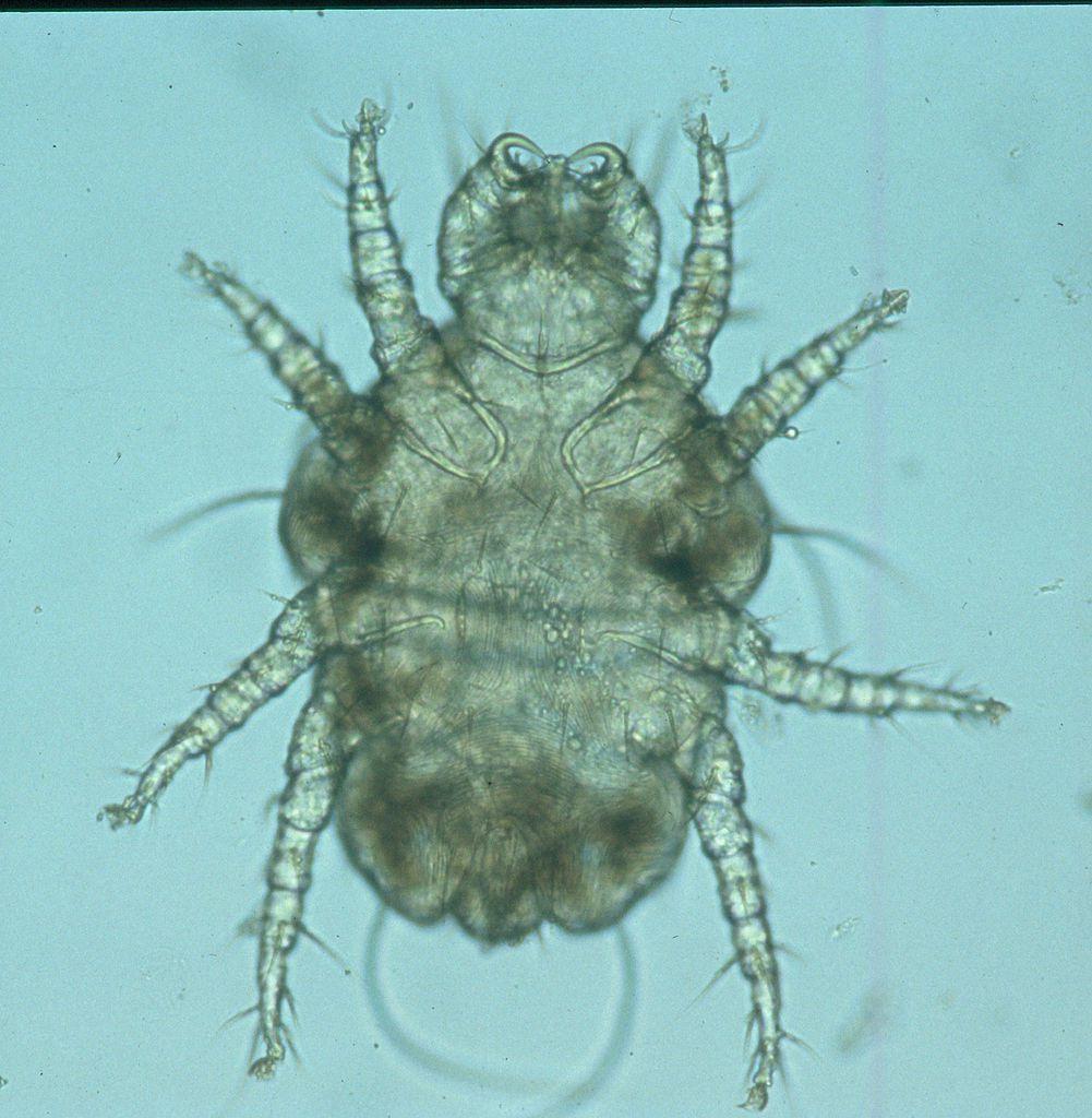 Cheyletiella mite under the microscope.