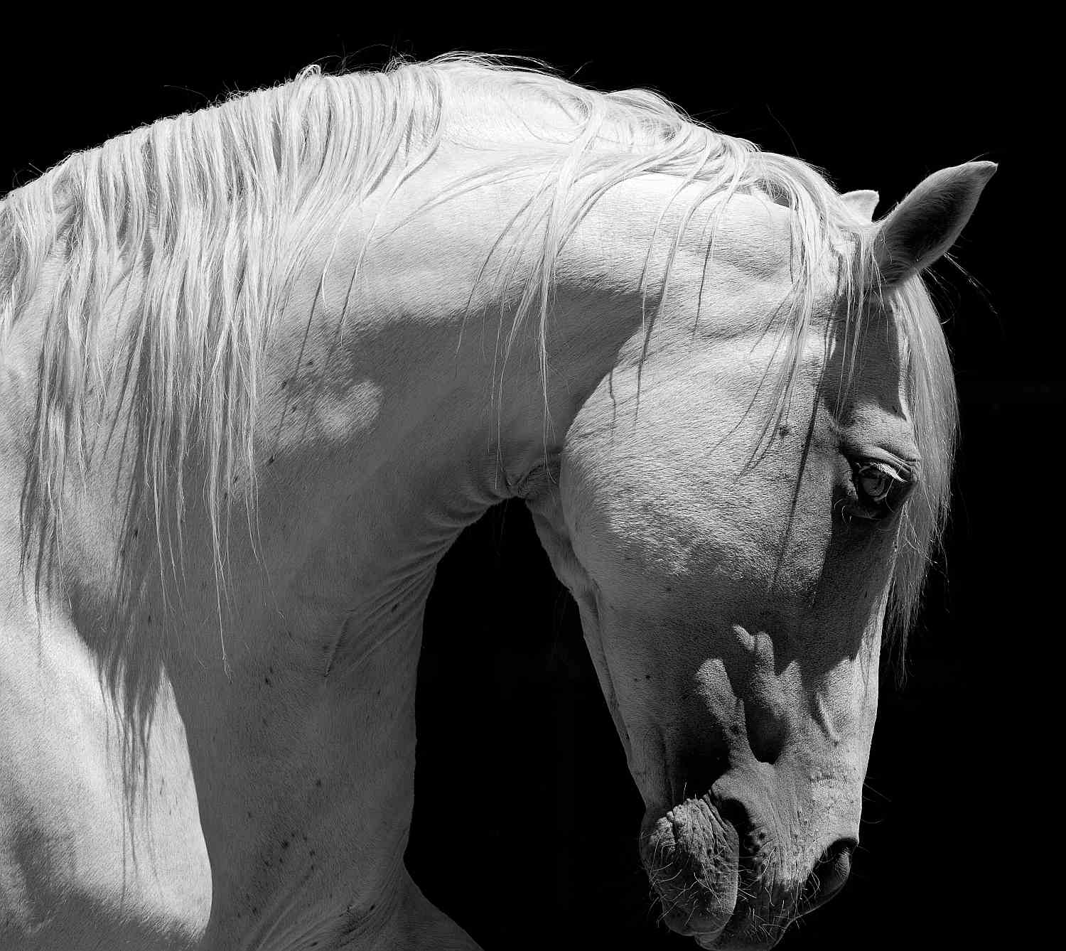 White horse with arched neck and heavy crest.