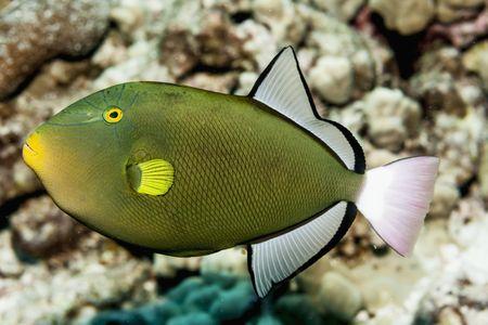 pinktail triggerfish fish breed profile