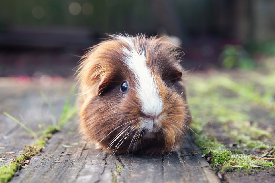 Guinea pig with brown and white hair sitting outside on wooden floor