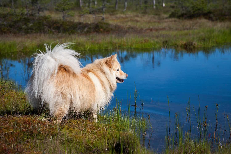 finnish lapphund near a lake