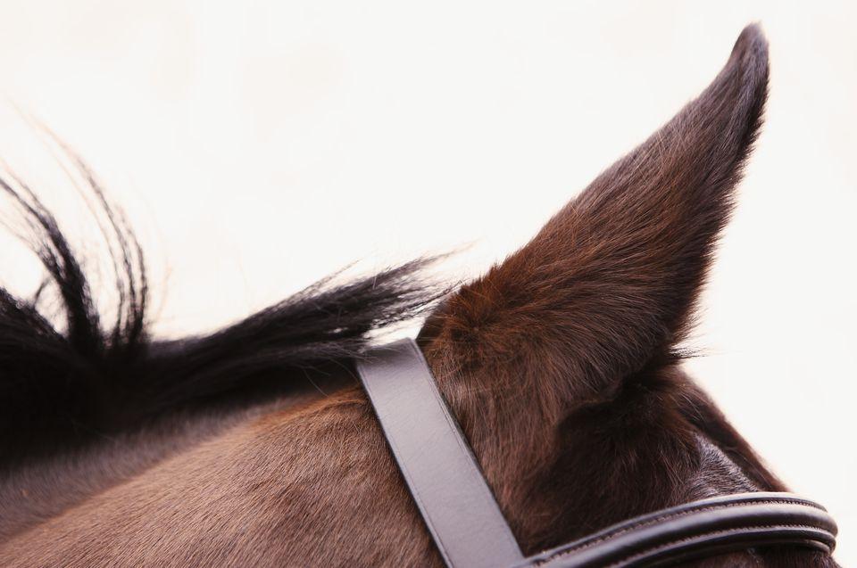 Oreja de caballo