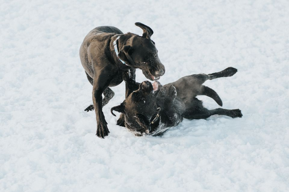 Two black dogs fighting