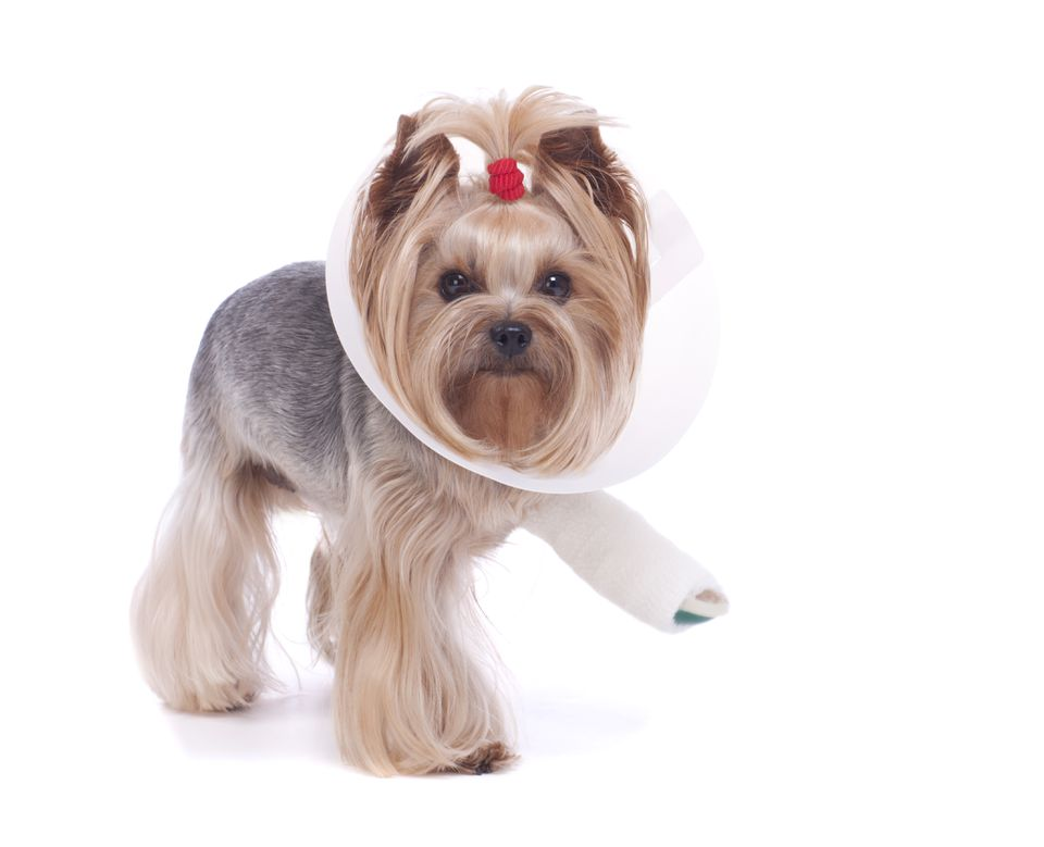 Yorkie with a Broken Leg