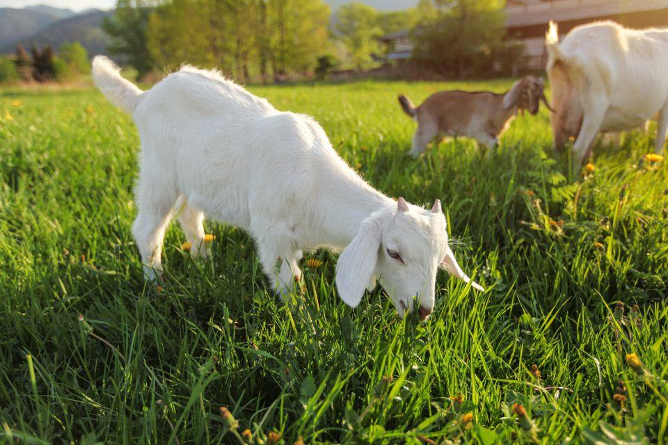 Pequeño cabrito blanco pastando en el prado con dientes de león, más cabras en segundo plano.