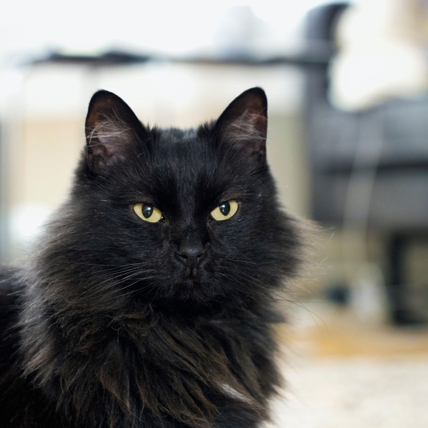 Norwegian Forest Cat Full Profile History And Care