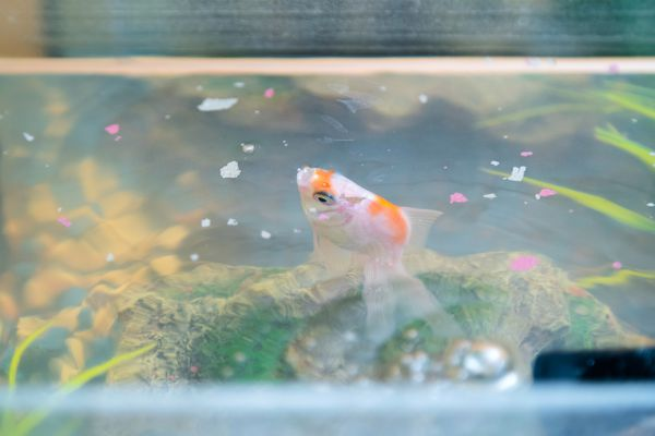 Feeding goldfish in the aquarium at home. Fish rock and plants in the background