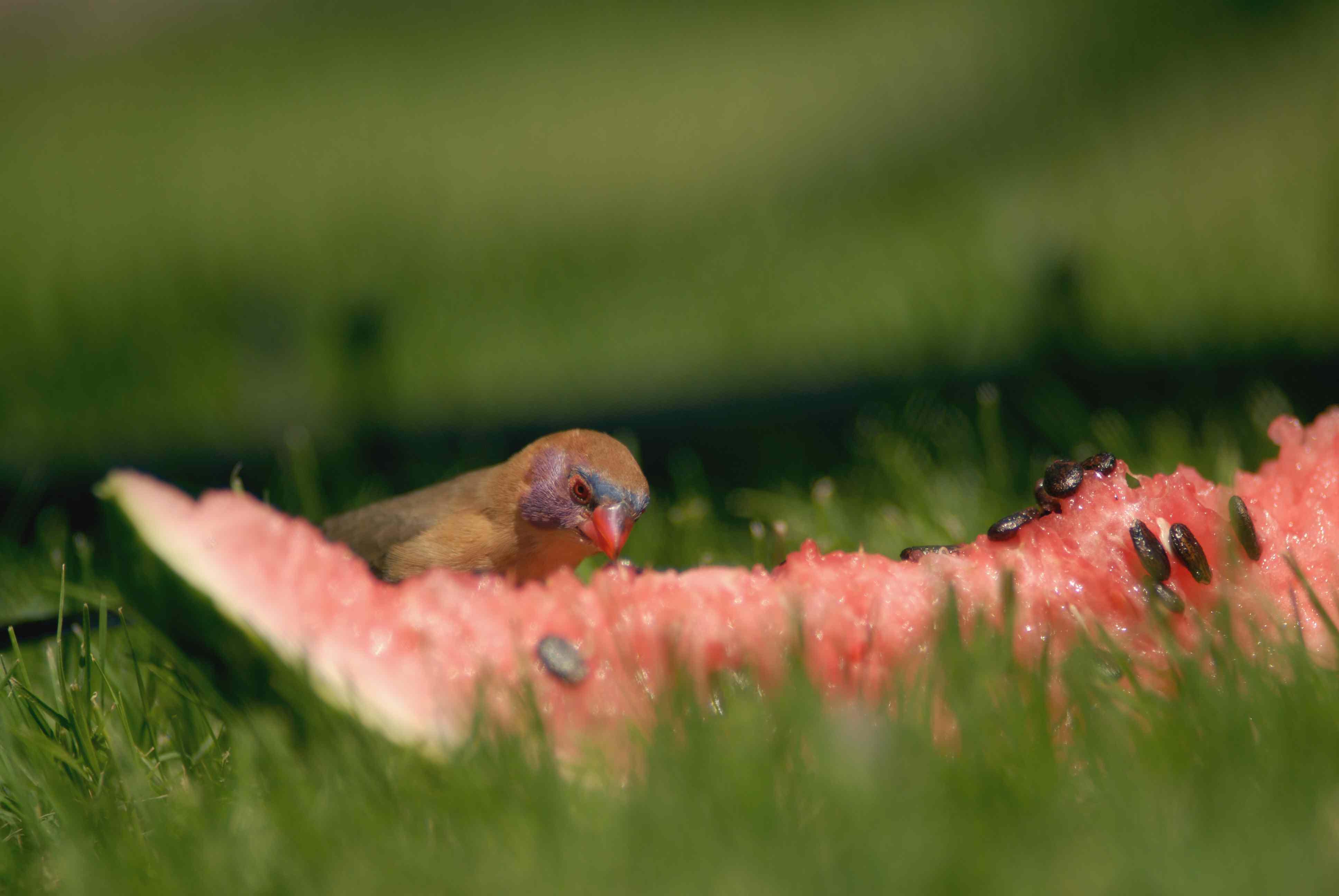 Bird eating watermelon (Citrullus lanatus) on ground