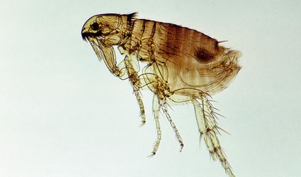 Flea, Cat or Dog (Ctenocephalides sp) 10X at 35mm. Ectoparasite, wingless insect, flattened laterally. Siphonaptera