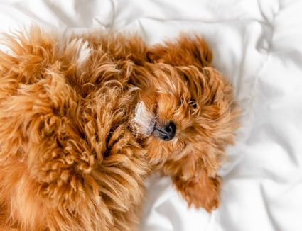 Light brown fluffy dog curled on bed while sleeping