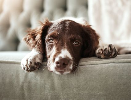 A sad dog laying on a couch