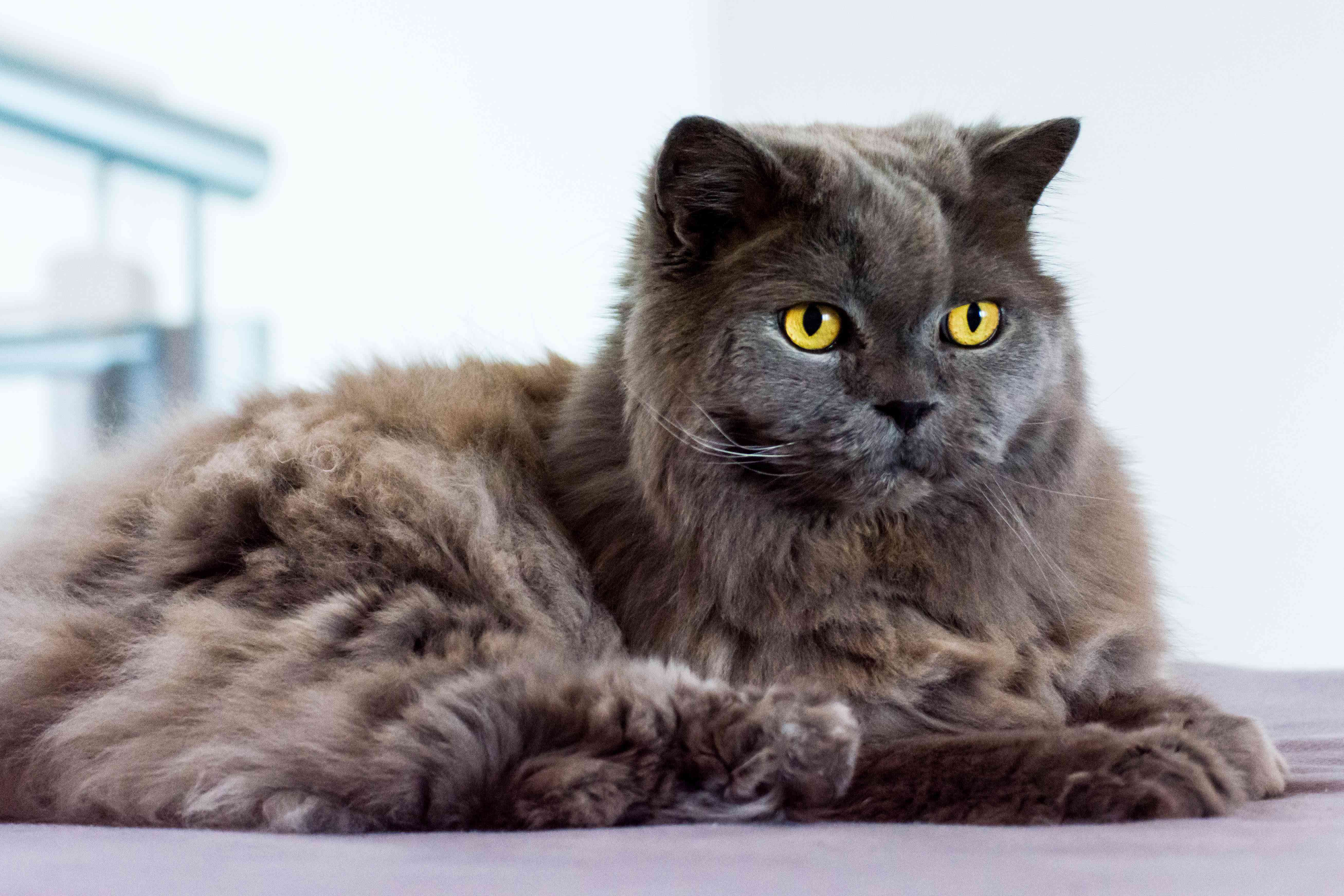 Gray British Longhair cat with yellow eyes lying on bed