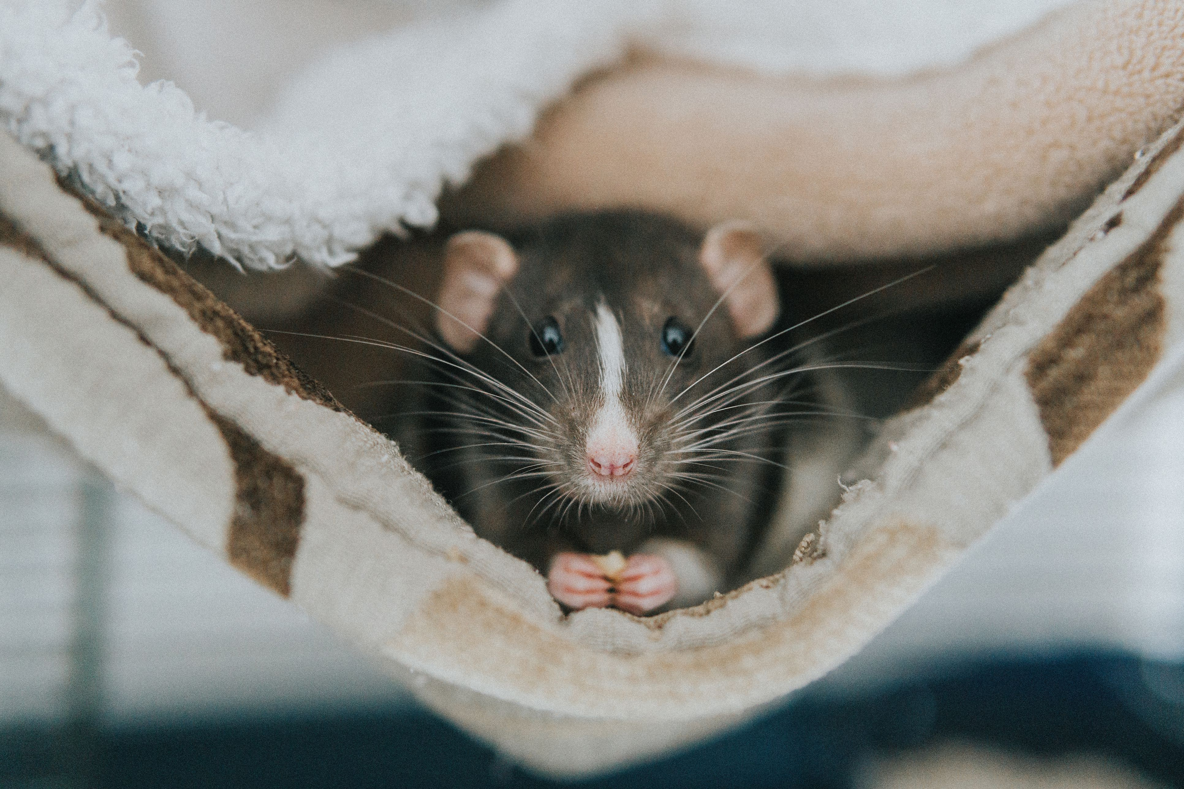 Close-up portrait of a rat in a blanket