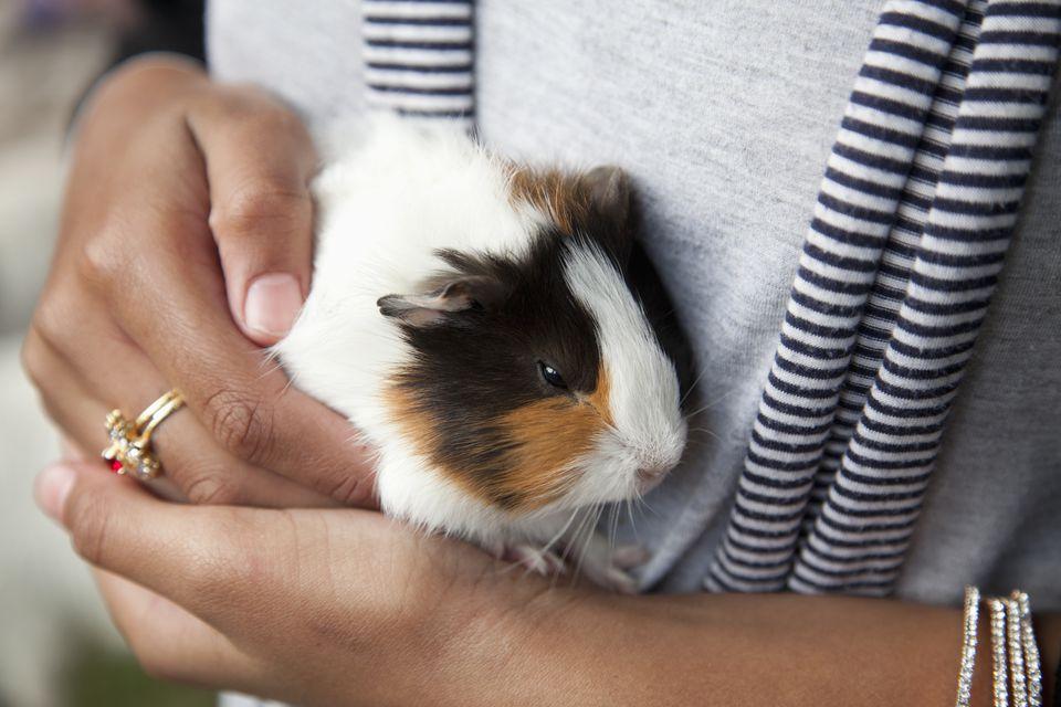 Pet guinea pig (Cavia porcellus)