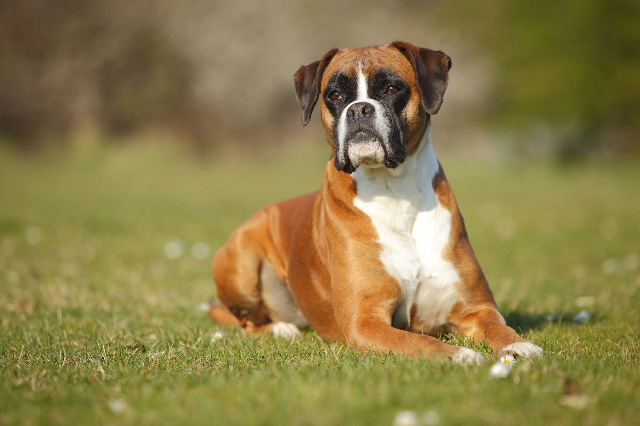 A boxer dog laying in the grass and looking into the distance.