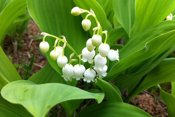 Lily-of-the-valley plant