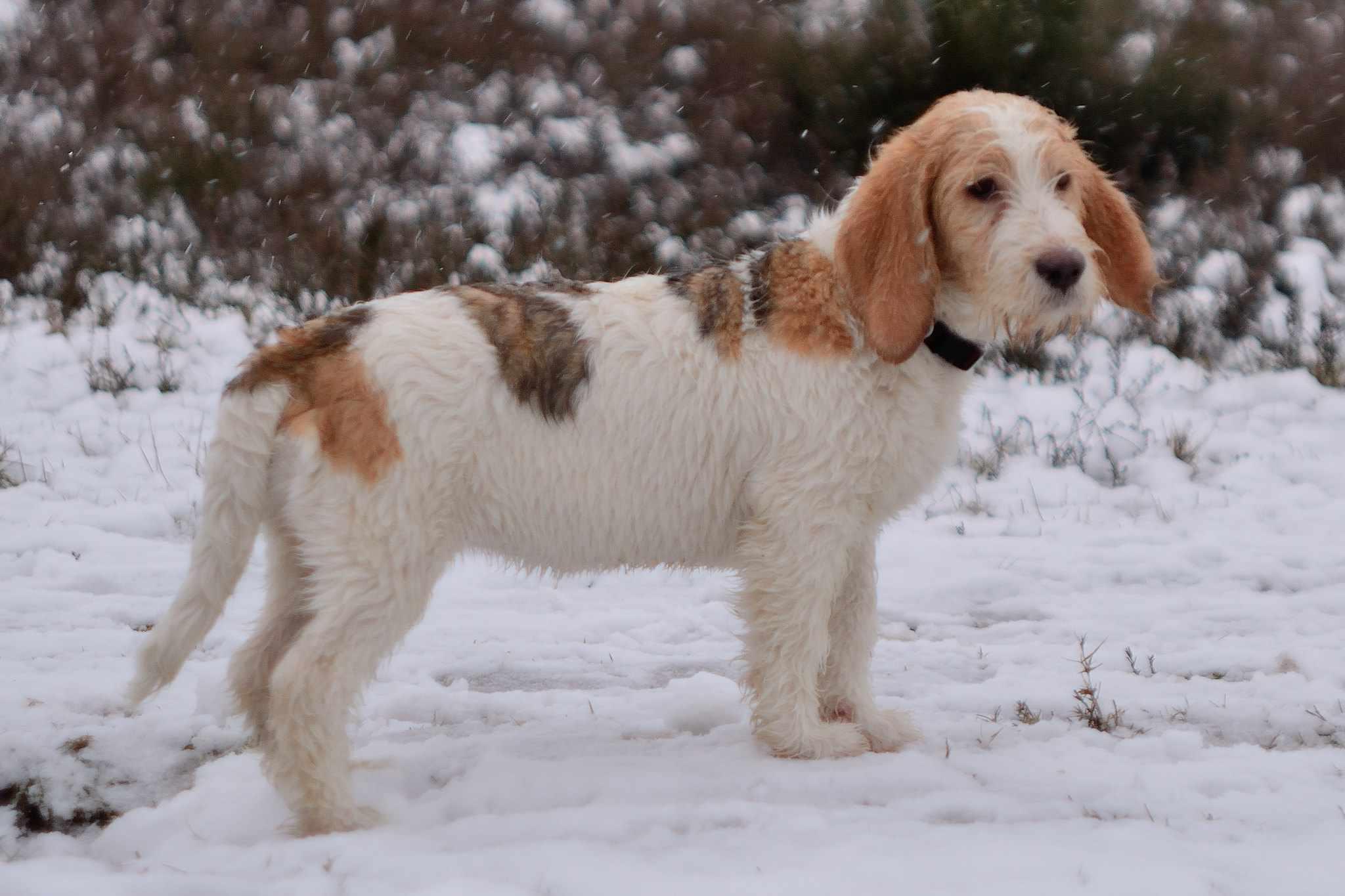 Grand Basset Griffon Vendeens de pie en la nieve