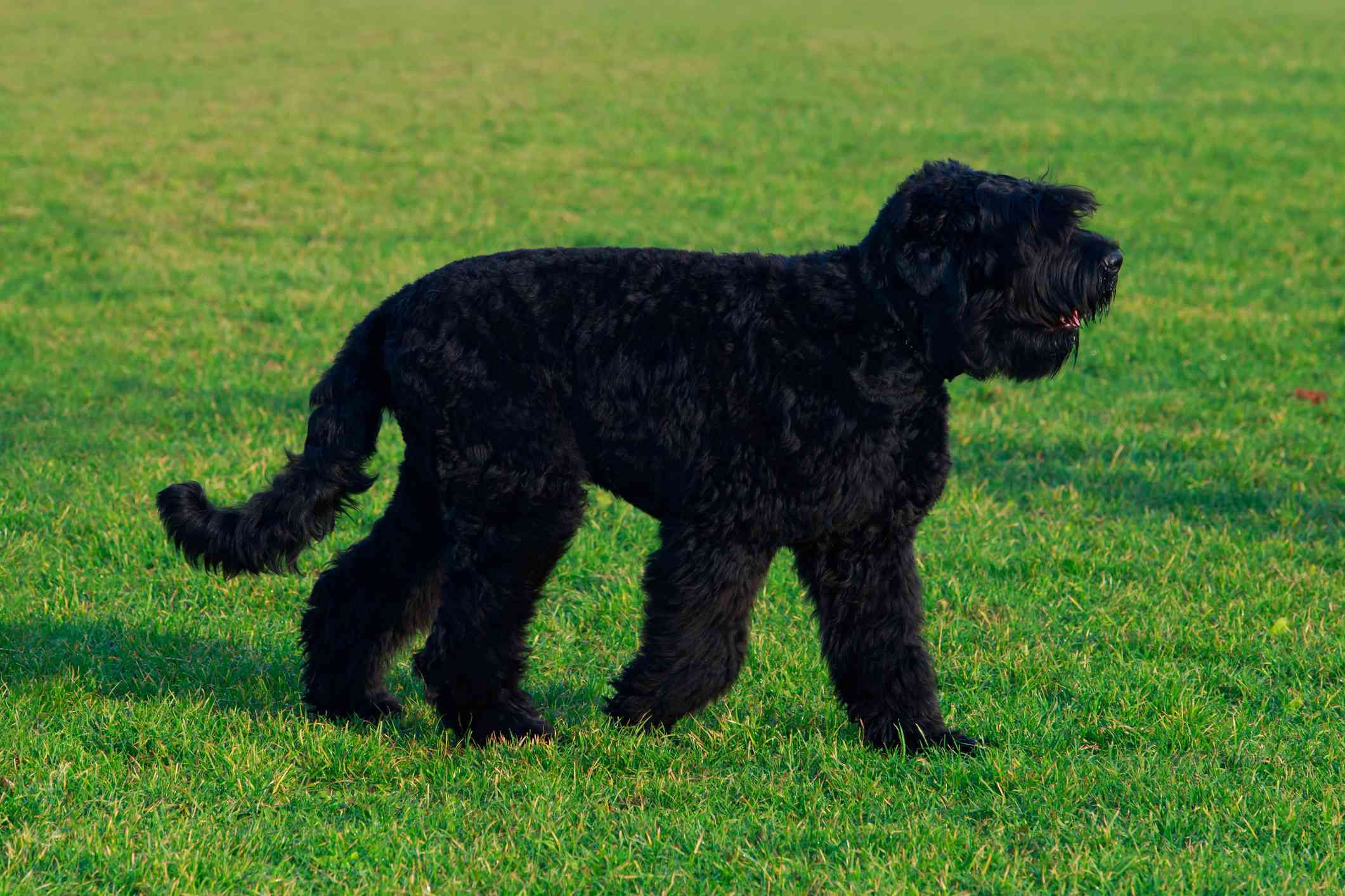 Black Russian terrier on grass